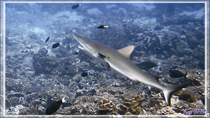 Requin gris en cours de nettoyage par des labres nettoyeurs à queue jaune - Passe Tumakohua (passe sud) - Atoll de Fakarava - Tuamotu - Polynésie française