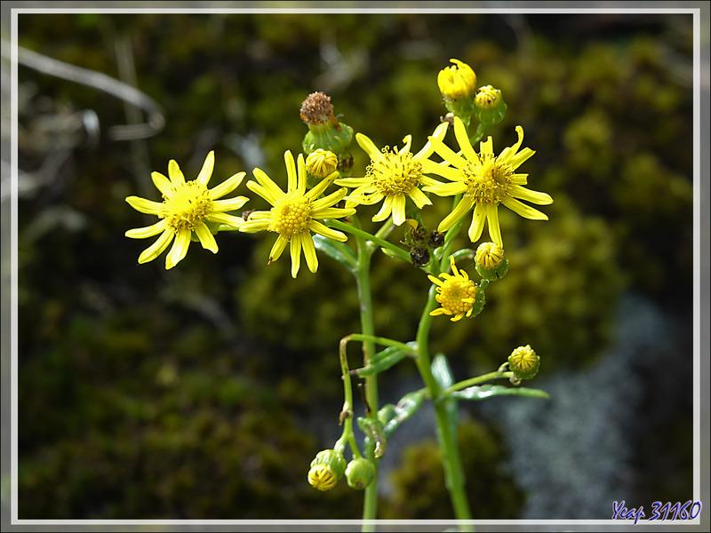 Fleurs jaunes probablement de la famille des séneçons - Edinburgh of the Seven Seas - Tristan da Cunha