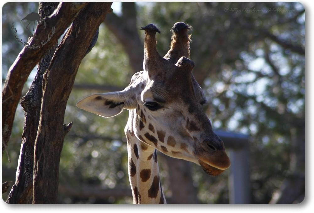 Girafe de Rothschild...
