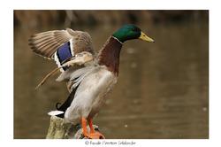 Canard colvert ♂