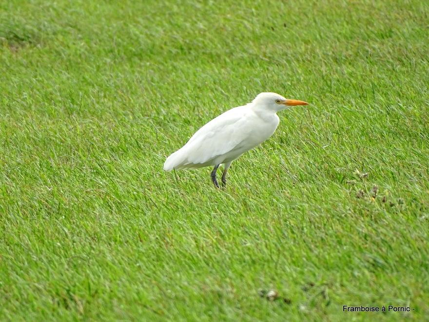 Oiseaux à la Coupelasse (85)