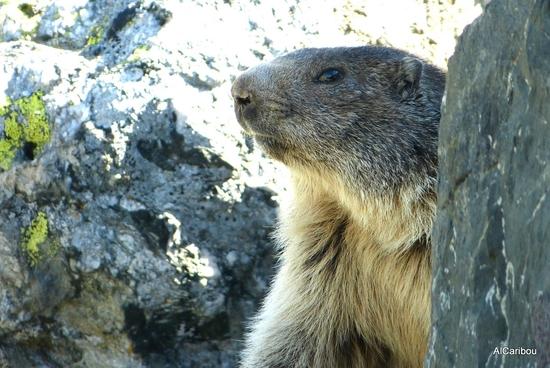 Marmotte de profil