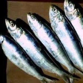 sardine1