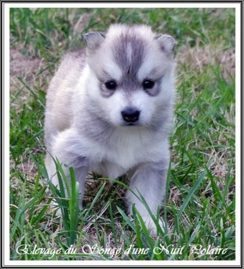 Chiot Husky Femelle 4 (27j)