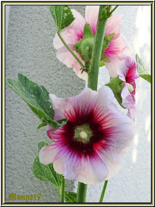 Symphonie en rose ..........