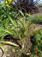 Jubaea chilensis n° 1 - année 2014 et 2015