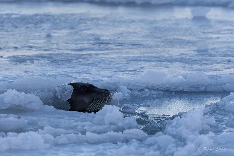 La chasse aux phoques