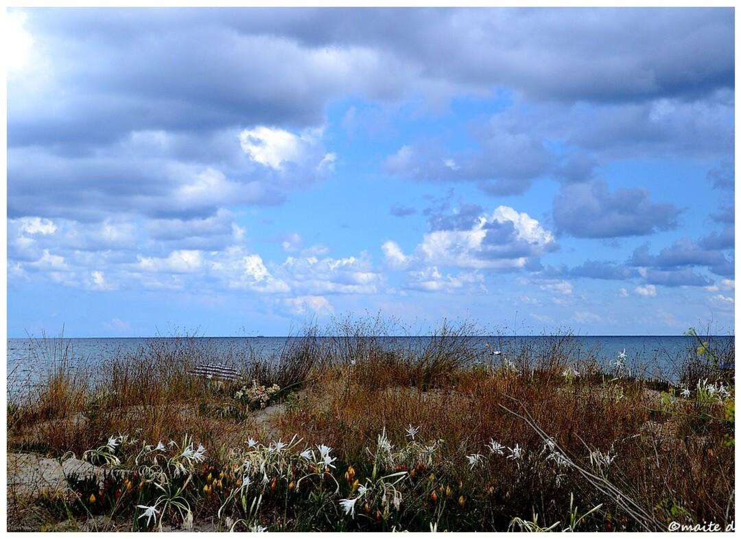 Lis des sables - Corse
