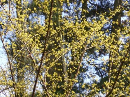 Cornouiller officinal : fleurs