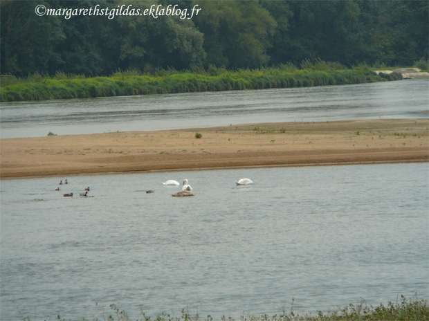 Cygnes sauvages - Wild swans