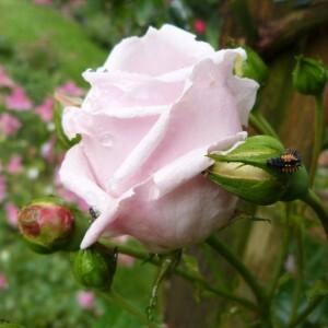 rosier new dawn - juin 2014 - rose entrouverte et larve de