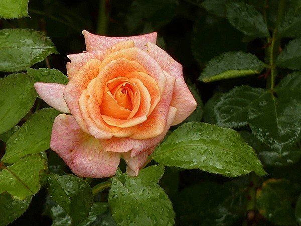 Rose M-S