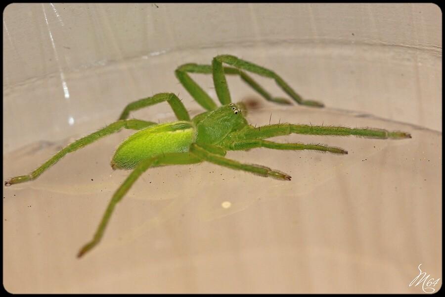 Araignée : Micrommata virescens