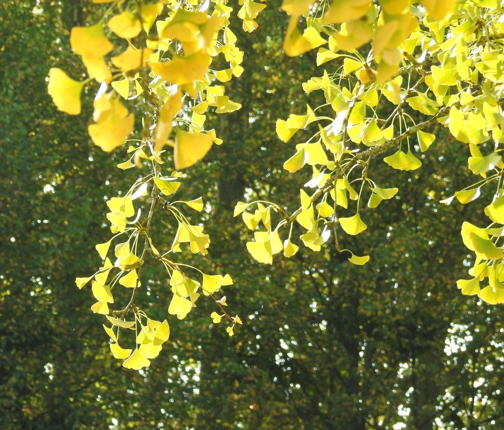 Splendeur automnale de l'arbre aux 40 écus...