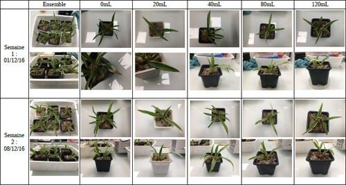 Résultats expérience chlorophytums
