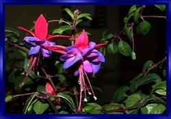 Les Fuchsias fleurs d'ornement