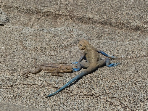de superbes lézards à pattes bleues