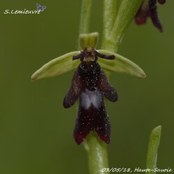 #377 Ophrys insectifera