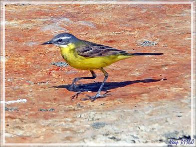Bergeronnette printanière, Western Yellow Wagtail (Motacilla flava) - Les Portes-en-Ré - Ile de Ré - 17
