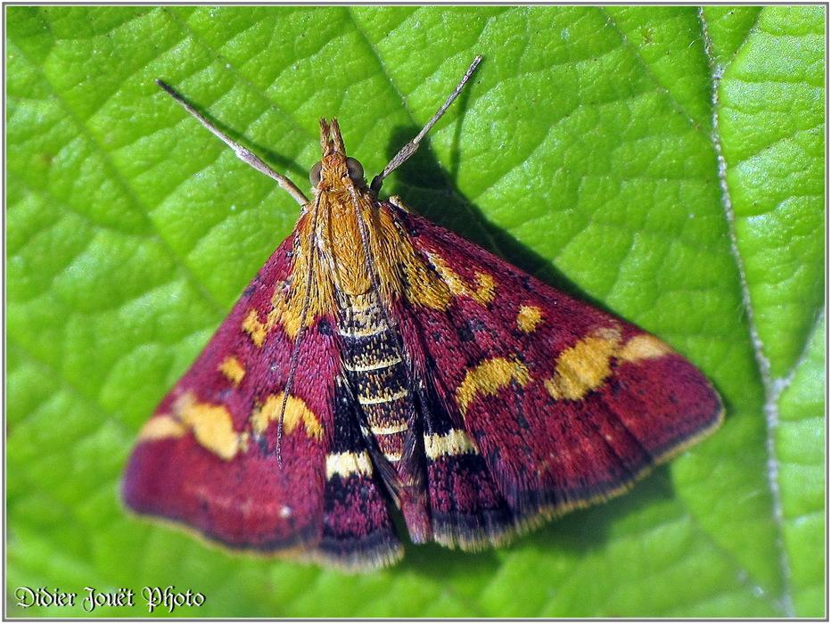 Pyrale Pourprée / Pyrausta purpuralis