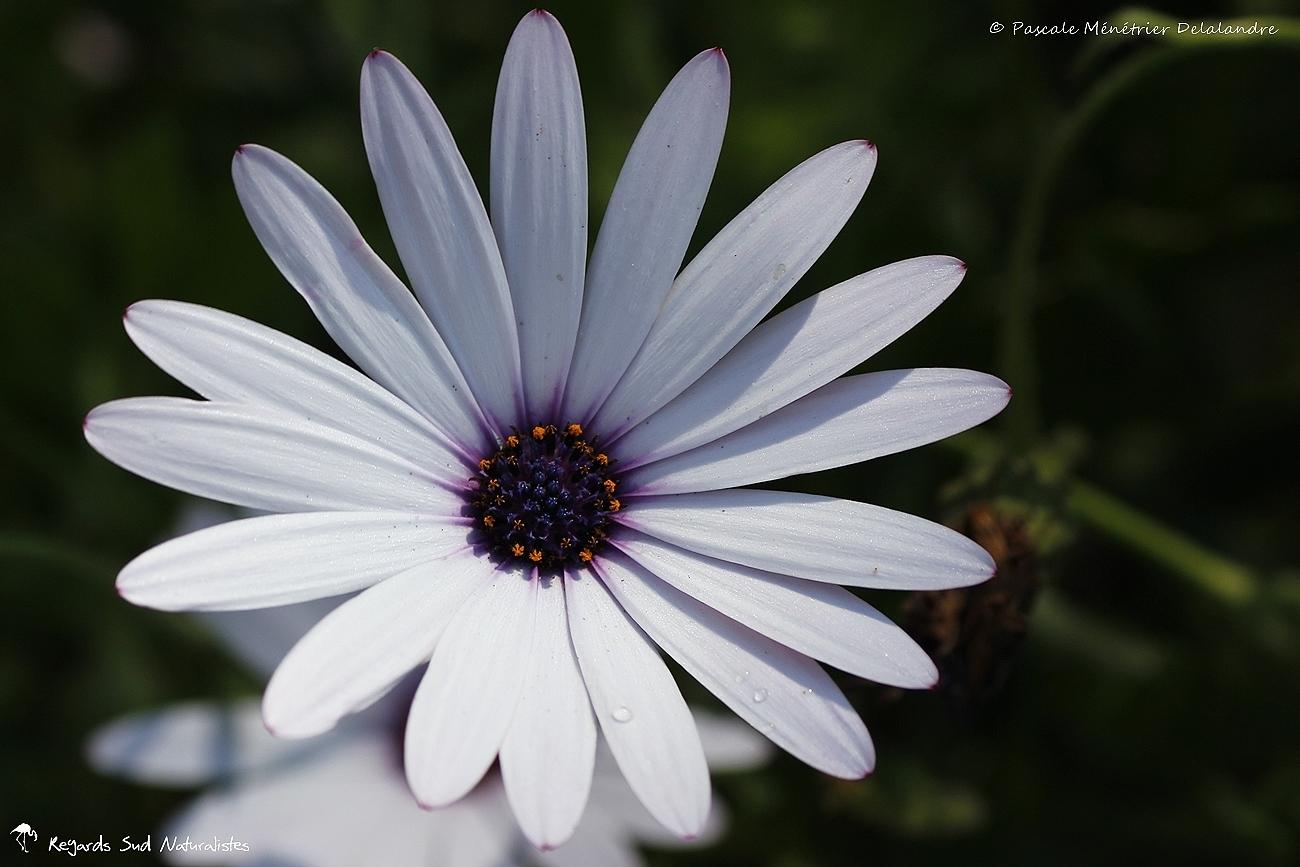 Anthemis à coeur violet