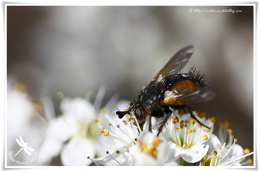 Tachina fera femelle - Echinomyie sauvage