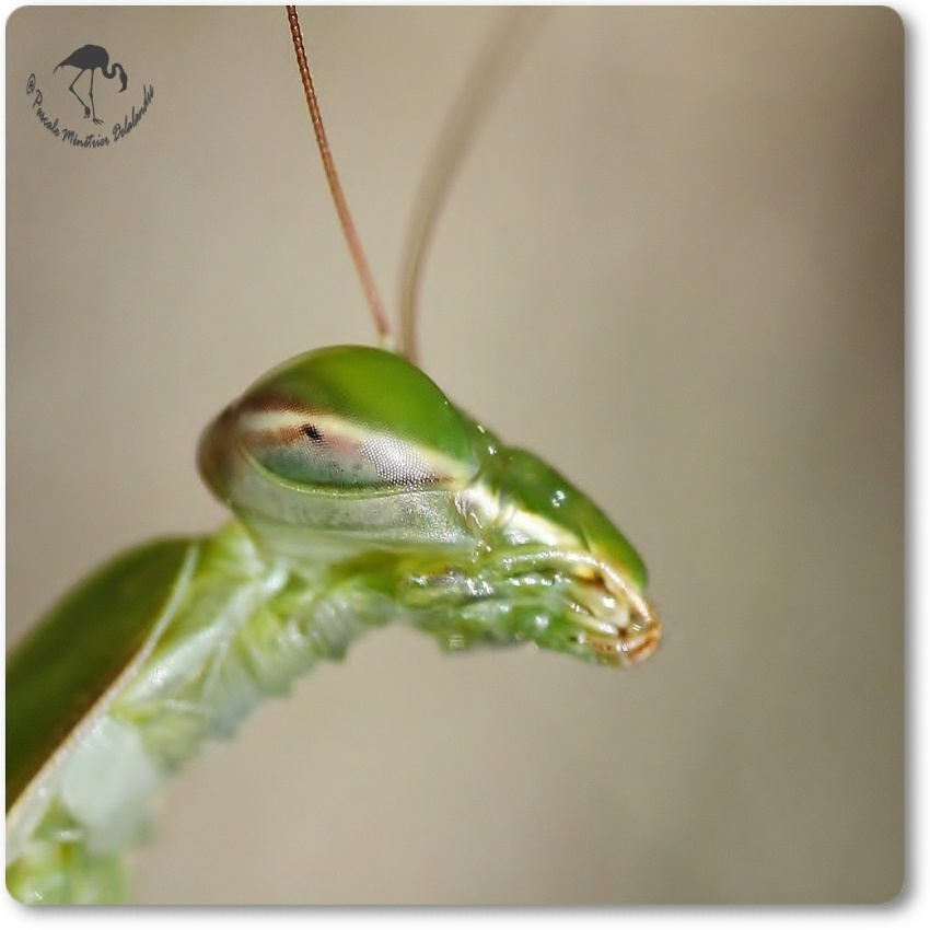 Mantis religiosa - Mante religieuse - forme verte