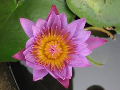 5. Lotus (fleur)