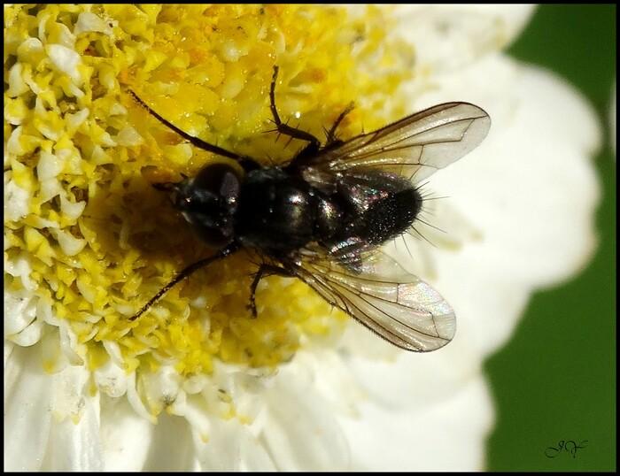 Tachinidae.