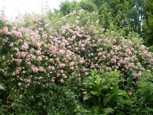 Fleurs bizarres, coquelicots et arbre bourdonnant