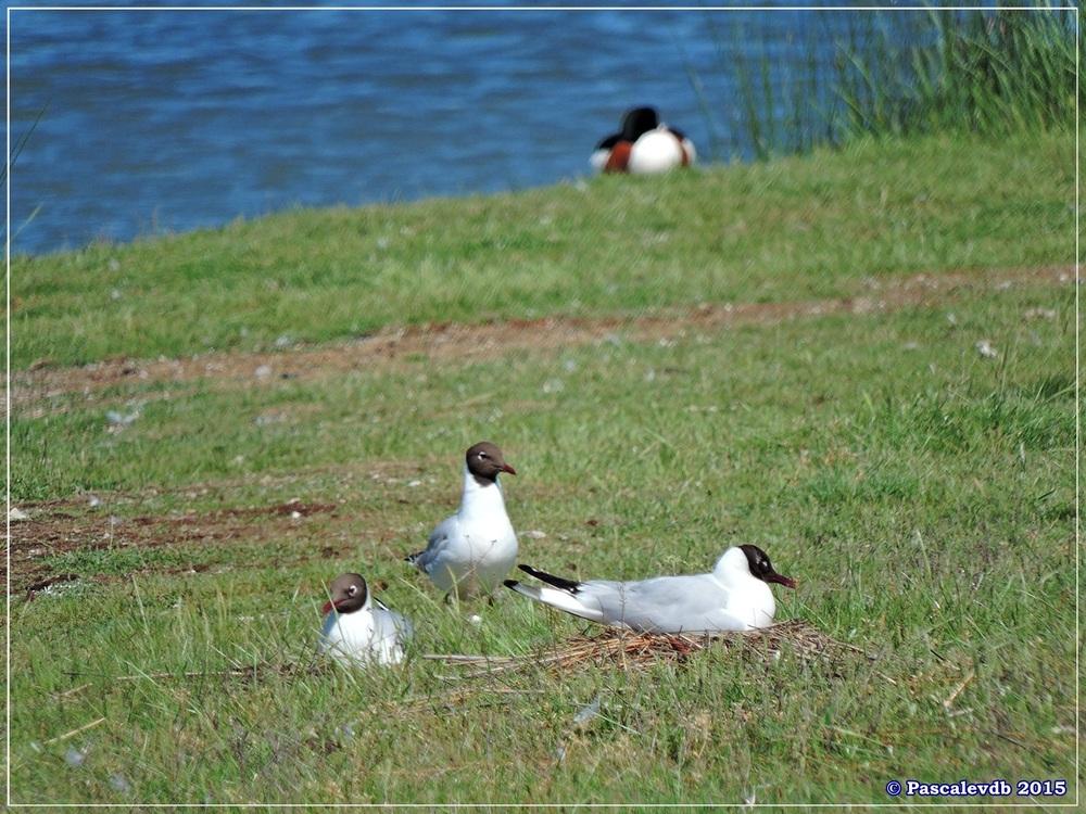 Printemps 2015 à la réserve ornitho du Teich - 4/13