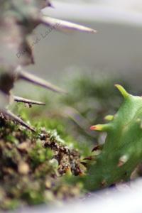 Euphorbia Horrida - 2015