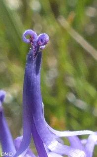 Phyteuma hemisphaericum - raiponce hémisphérique