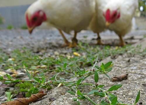 Vertus  médicinales des plantes sauvages : Renouée des oiseaux