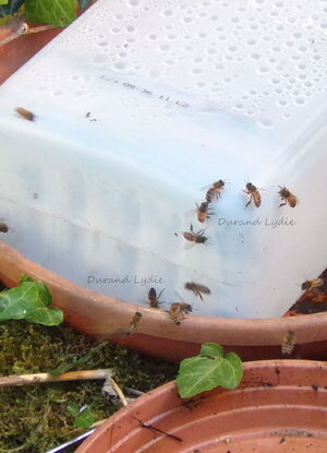 4 Juin 2015 - Apis Mellifera cherchaient de l'eau