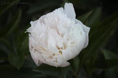 Blog de jephotographie :jephotographie, pivoine blanche