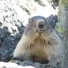 Marmotte de face