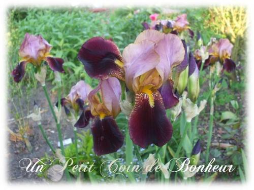 iris gros plant