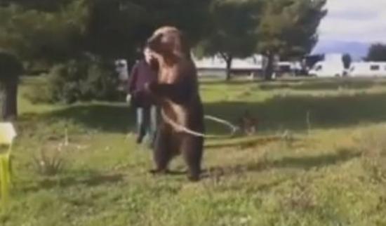 Cet ours sait faire du Hula Hoop