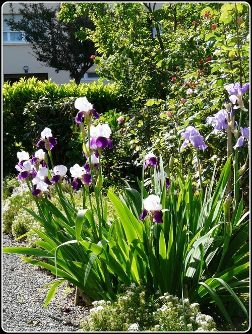 Iris et pavots