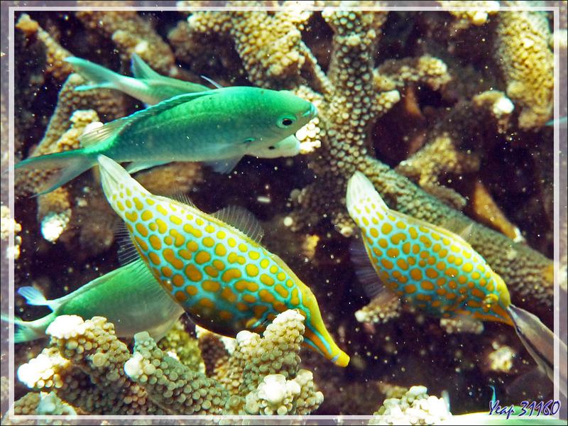 Snorkeling à Nosy Tsarabanjina : Poisson lime à taches orange, Poisson lime à long nez, Harlequin filefish (Oxymonacanthus longirostris) - Archipel Mitsio - Madagascar