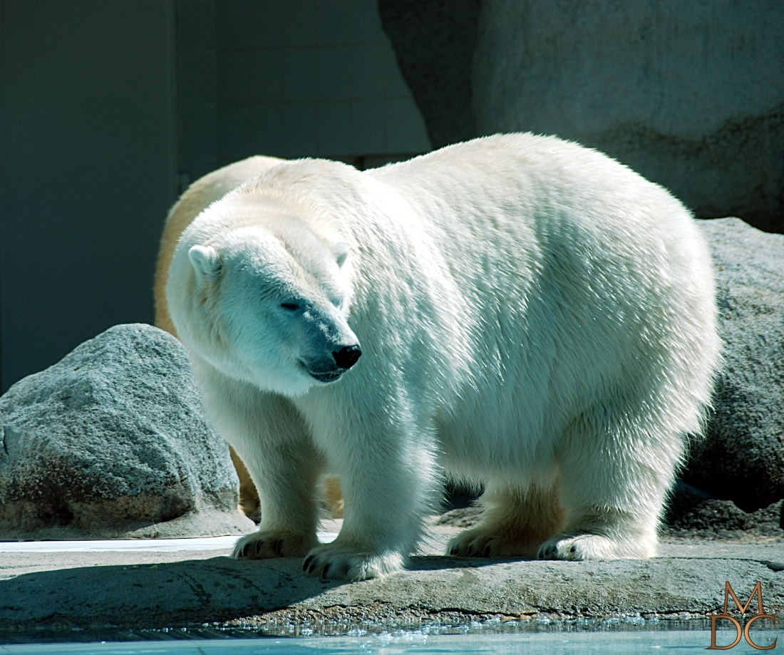 Ours blanc - Ours polaire