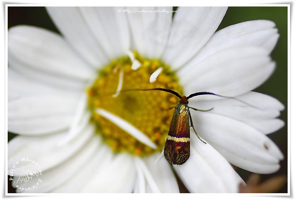 Incurvarioidea Adelidae - Adelinae - Nemophora degeerella
