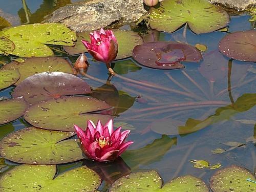 Jardin du Prahor-8-08-12-Nympheas-P1290950