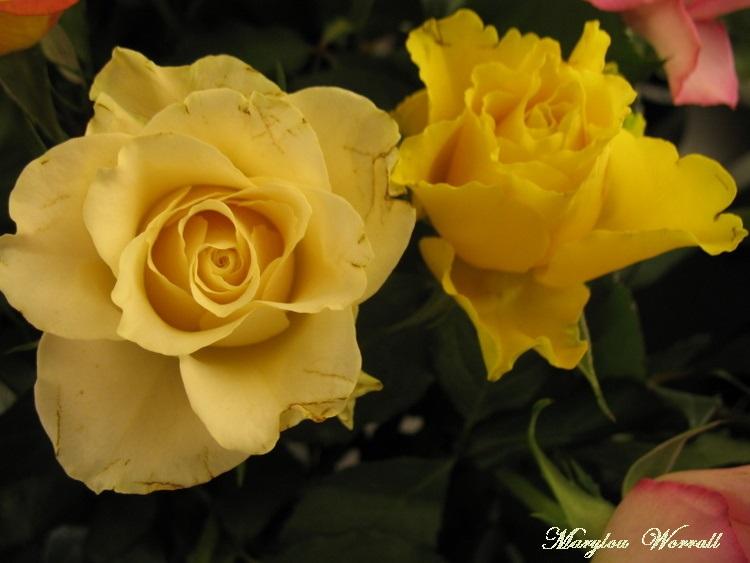 Une fleur nommée ROSE