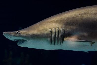 Le requin accoucheur ...