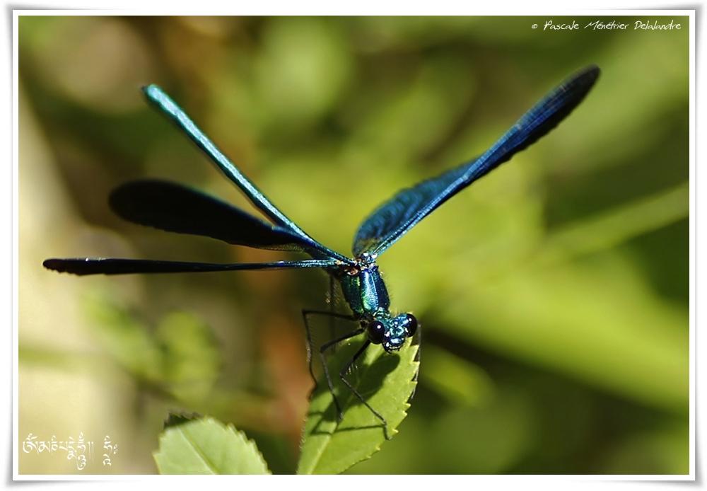 Caloptéryx vierge ♂ (Calopteryx virgo)