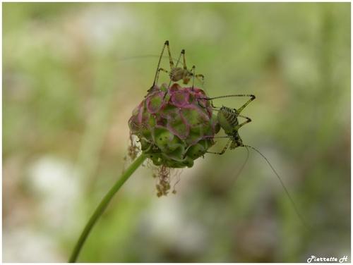 Nymphes de sauterelles