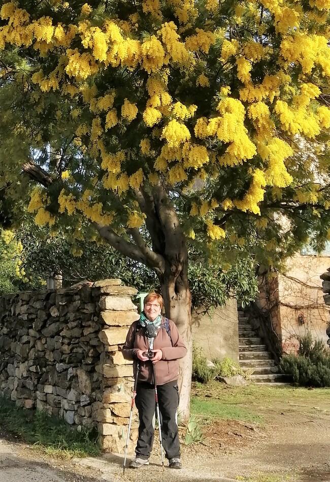 Rando * Mimosa * sur les hauteurs de Cerét...