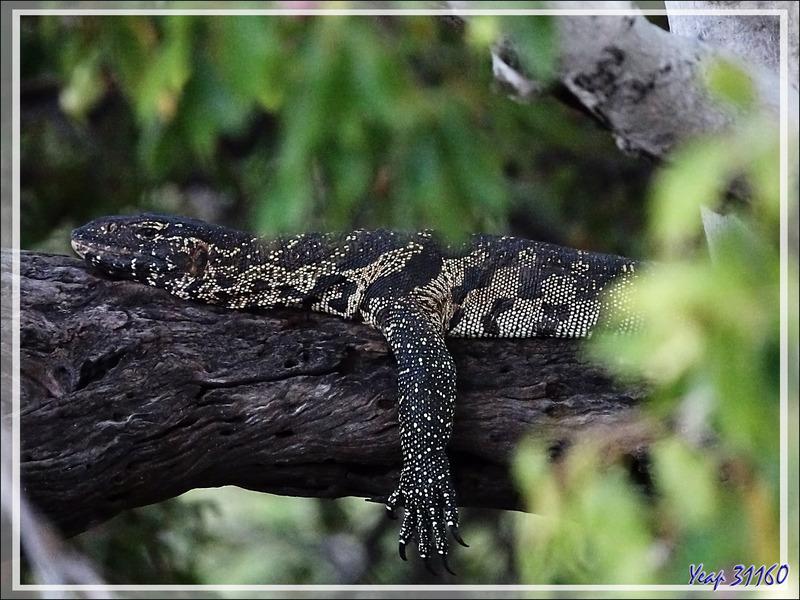 Varan du Nil, Nile monitor lizard (Varanus niloticus) - Fleuve Zambèze - Zimbabwe